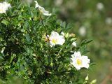 Rosa beggeriana