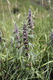 Leonurus turkestanicus