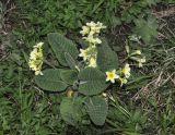 Primula pseudoelatior