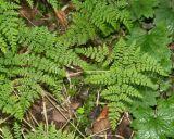 Rhizomatopteris montana