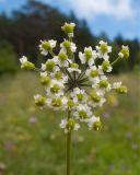 Eleutherospermum cicutarium