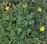 Ficaria calthifolia