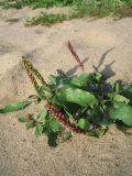Plantago uliginosa