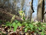 Corydalis marschalliana