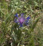 Centaurea fuscomarginata