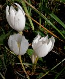 Crocus vallicola