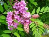 Robinia × longiloba