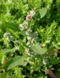 Chenopodium album