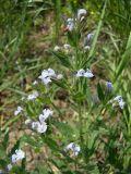 Nepeta parviflora