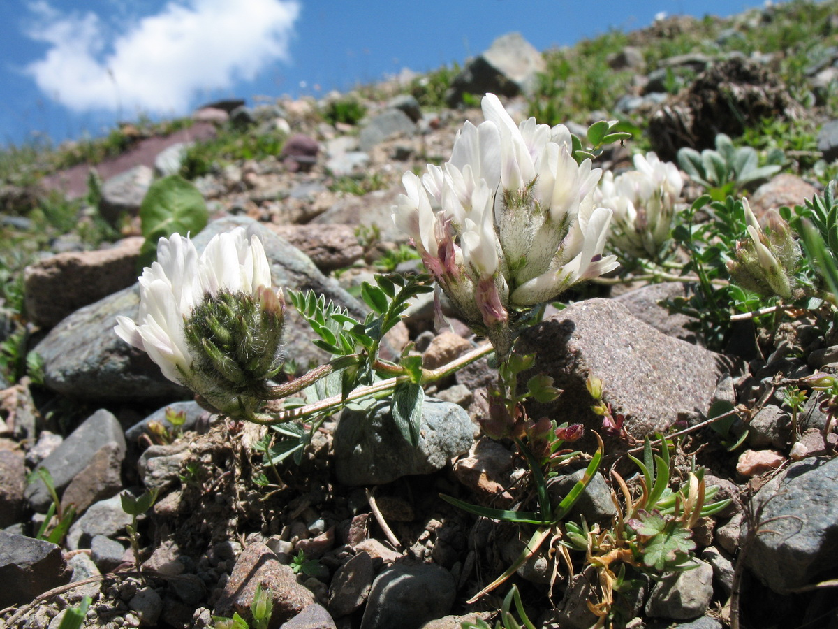Изображение растения Astragalus sarbasnensis.