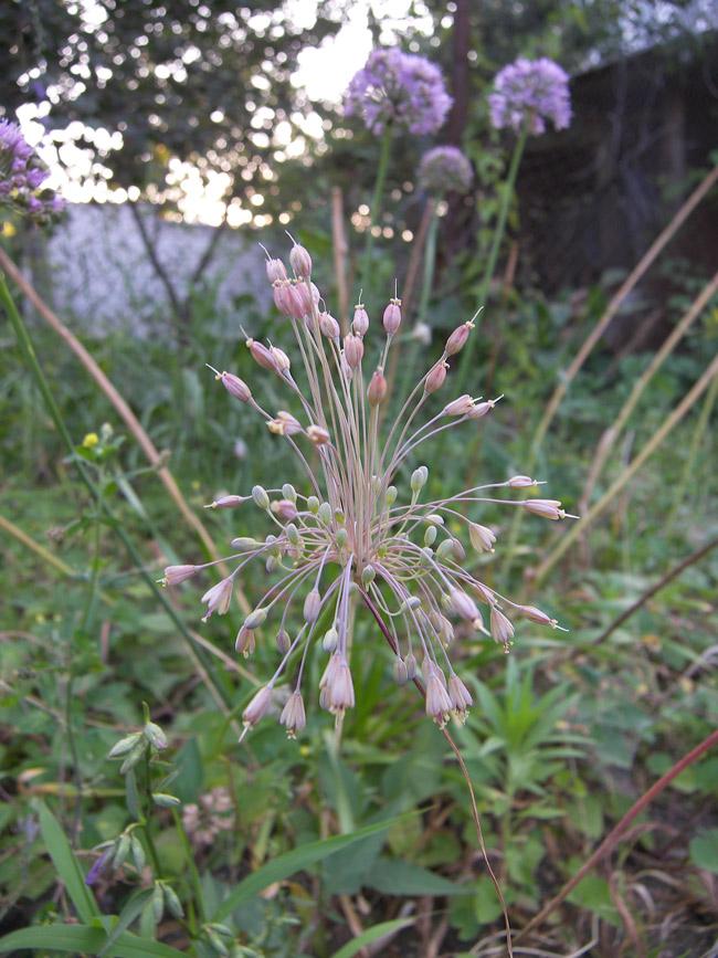 Semis d'Allium 112394_bc1fa2bc