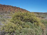 Adenocarpus viscosus