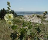 Alcea taurica