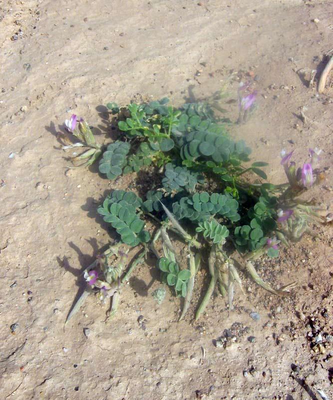 Изображение растения Astragalus amabilis.