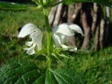 Lamium turkestanicum