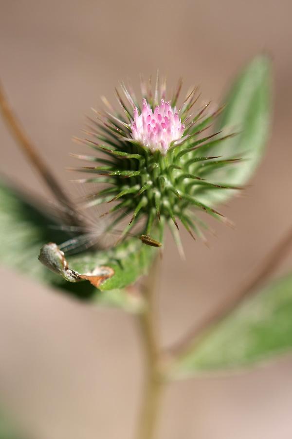 Изображение растения Cousinia tenella.