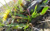 Taraxacum macilentum