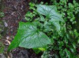 Parasenecio hastatus ssp. orientalis