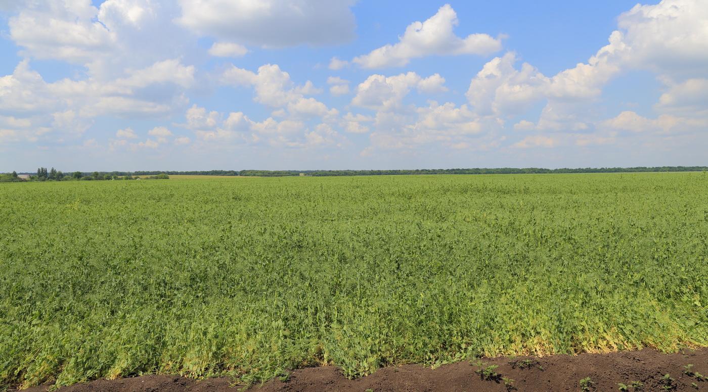 Горох посевной (Pisum sativum)