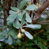 Pittosporum heterophyllum