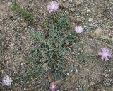 Psephellus turgaicus