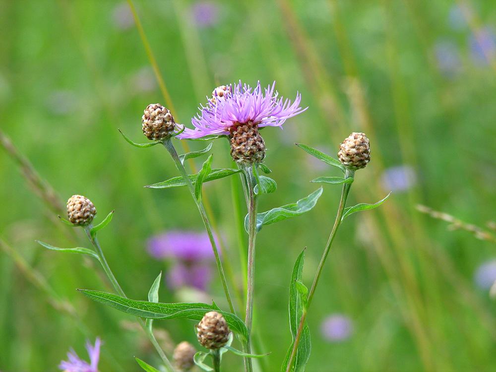 чрезвычайно сложная полевые цветы подмосковья фото с названиями было чудом есть