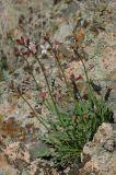 Parrya longicarpa