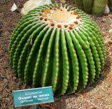 Echinocactus grusonii var. inermis