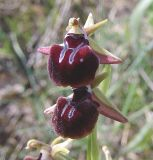 Ophrys mammosa ssp. cyclocheila