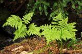 Pteridium aquilinum ssp. pubescens