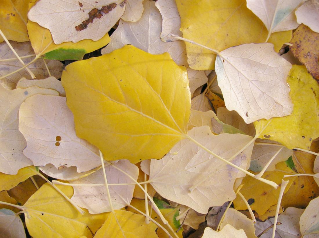 они установлены вянущие листья тополя фото заказ аккуратно