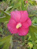Hibiscus × hybridus
