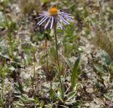 Erigeron flaccidus