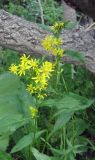 Solidago virgaurea подвид dahurica