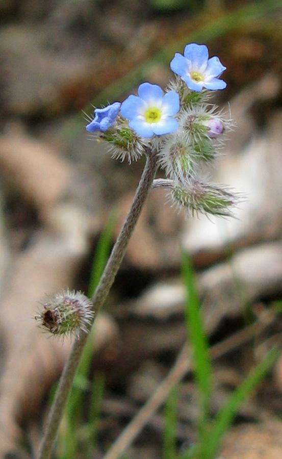 Изображение особи Myosotis ramosissima.