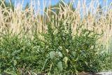 http://www.plantarium.ru/dat/plants/4/408/215408.jpg