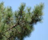 Pinus pallasiana