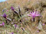 Centaurea squarrosa