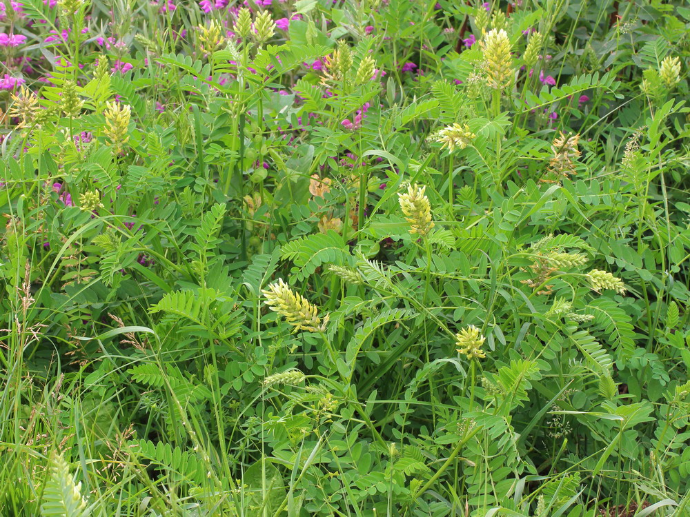 Астрагал нутовый (Astragalus cicer)