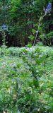 Delphinium cuneatum
