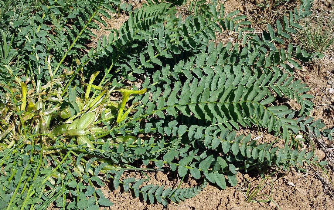 Изображение растения Astragalus macronyx.