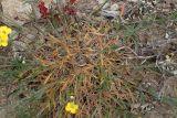 Erysimum pusillum ssp. hayekii