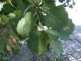 Populus tremula