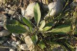 Verbascum gnaphalodes