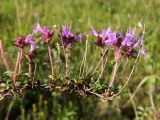 Thymus glabricaulis