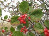 Sorbus graeca
