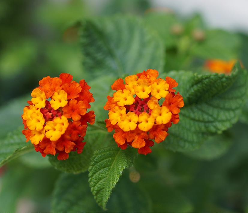алсар предоставляет лантана цветок фото и описание свадебного платья часто