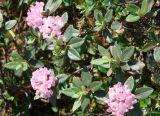 Rhododendron adamsii