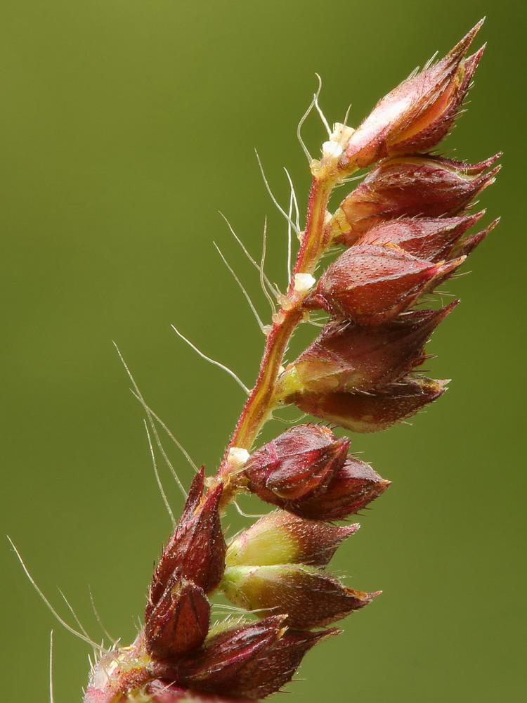 Ежовник обыкновенный (Echinochloa crusgalli)
