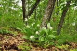Cypripedium macranthos. Цветущие растения. Приморский край, Уссурийский гор. округ, окр. с. Монакино, склон сопки в широколиственном лесу. 04.06.2017.